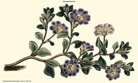 Nolana paradoxa (Botanical register).jpg