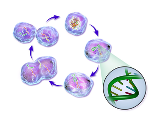 Cell cycle Series of events and stages that result in cell division