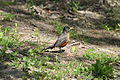 North American Robin.jpg