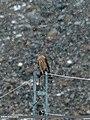 Northern Goshawk (Accipiter gentilis) (27243291504).jpg
