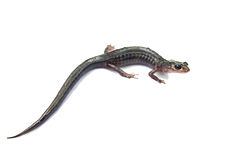 Northern Gray-cheeked Salamander white bg.jpg