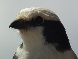Northern White-crowned Shrike Eurocephalus ruepelli in Tanzania 0533 cropped Nevit.jpg