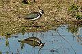 Northern lapwing (Vanellus vanellus) Barnes.jpg