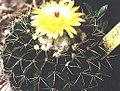 Notocactus (Wigginsia) corynodes.jpg
