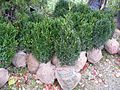 Nursery stocks of Buxus sempervirens.JPG