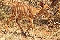 Nyala (Tragelaphus angasii) young male 2w.jpg