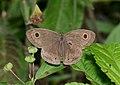 Nymphalidae (25512389352).jpg