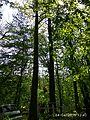 Oak tree near Gaydamatskyi stav 2.jpg