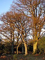 File:Oaks near Decoy Pond Farm, New Forest - geograph.org.uk - 294734.jpg