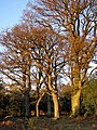 Oaks near Decoy Pond Farm, New Forest - geograph.org.uk - 294734.jpg