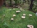 Obfite grzybobranie - panoramio.jpg