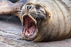 Oceanografic Sea Lion Mouth 02.jpg