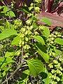 Ocimum basilicum (Lamiaceae) 01.jpg