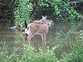 Odocoileus virginianus (white-tailed deer) 5 (8269183547).jpg