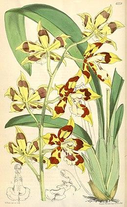 Odontoglossum praenitens