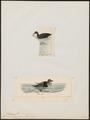 Oidemia americana - 1700-1880 - Print - Iconographia Zoologica - Special Collections University of Amsterdam - UBA01 IZ17700139.tif