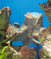 A captive octopus with two arms wrapped around the cap of a plastic container