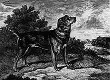 Old English Black and Tan Terrier.jpg