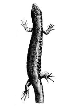 240px oligosoma suteri