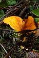 Omphalotus olearius 57216132.jpg
