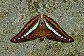 Open wing position of Sumalia daraxa Doubleday, 1848 – Green Commodore WLB DSC 1289.jpg