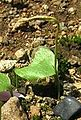 Ophioglossum reticulatum IMG 0186.JPG