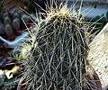 Opuntia echios ssp1.jpg