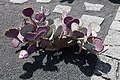 Opuntia macrocentra - Guatiza - Jardín de Cactus - Lanzarote - J33.jpg