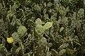 Opuntia stricta from Hare Island, Thoothukkudi JEG1560.jpg