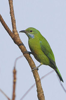Orange-bellied Leafbird Pangolakha Wildlife Sanctuary West Sikkim Sikkim India 13.12.2015.jpg