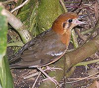 Orange-headed.thrush.750pix.jpg
