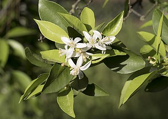 Citrus × sinensis - Image: Orange flowers Portakal çiçekleri 03