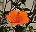 Orange hibiscus,lateral view.jpg