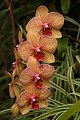 Orchid Cultivar Variegated Flowers 2000px.jpg