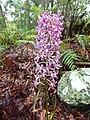 Orchid of Australia.JPG