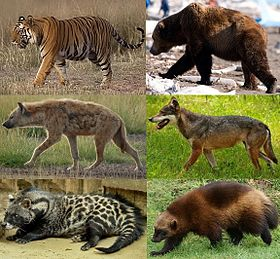 Various carnivorans, with feliforms (شیر, دھبے دار لگڑبھگا and African civet) to the left, and caniforms (بھورا ریچھ, بھیڑیا and wolverine) to the right.