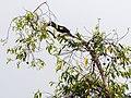 Oriental Pied Hornbill (14154120111).jpg