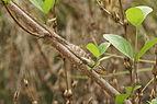 Oriental garden lizard 07222.JPG