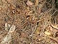 Orvet fragile (Anguis fragilis) (2).jpg