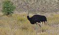 Ostrich (Struthio camelus) male (6451390819).jpg