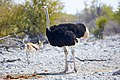 Ostrich Left 2019-07-24.jpg