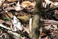 Ovenbird Hooks Wood High Island TX 2018-04-11 09-10-49 (41808928521).jpg