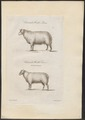 Ovis aries - 1700-1880 - Print - Iconographia Zoologica - Special Collections University of Amsterdam - UBA01 IZ21300007.tif