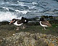 Oystercatchers, Bangor - geograph.org.uk - 740027.jpg