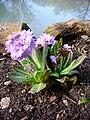 P1130523 Primula denticulata Drumstick primula (Primulaceae).JPG