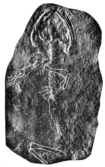 PSM V72 D566 Pelion lyelli quadraped from carboniferous ohio.png