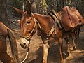 Pack Mule in the Forest (16373923491).jpg