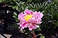 Paeonia lactiflora Abalone Pearl 2zz.jpg