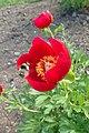 Paeonia peregrina kz02.jpg