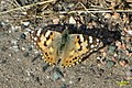 Painted lady (NH255) (22009633003).jpg